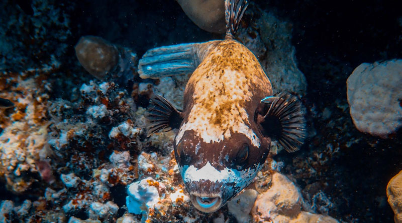 There's more to puffer fish than that goofy spiked balloon