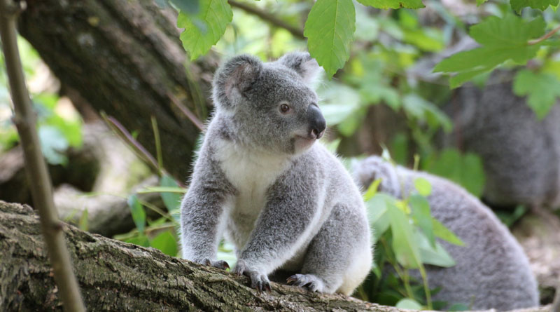 Fecal transplants might help make koalas less picky eaters